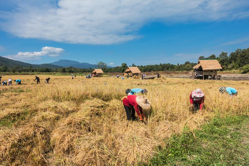 Farmers harvest rice. Farmers harvest rice by the traditional approach, reaping the rice together by a sickle on organic agriculture rice field farm in Chiang royalty free stock photos