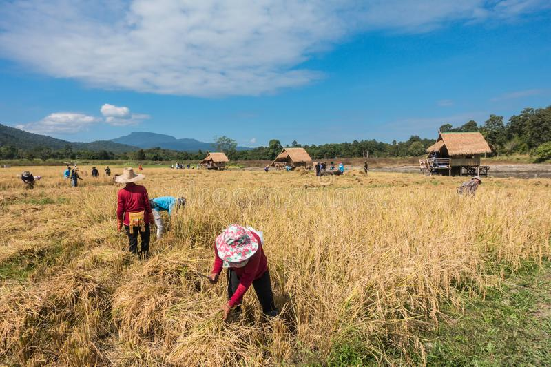 Farmers harvest rice. Farmers harvest rice by the traditional approach, reaping the rice together by a sickle on organic agriculture rice field farm in Chiang stock image