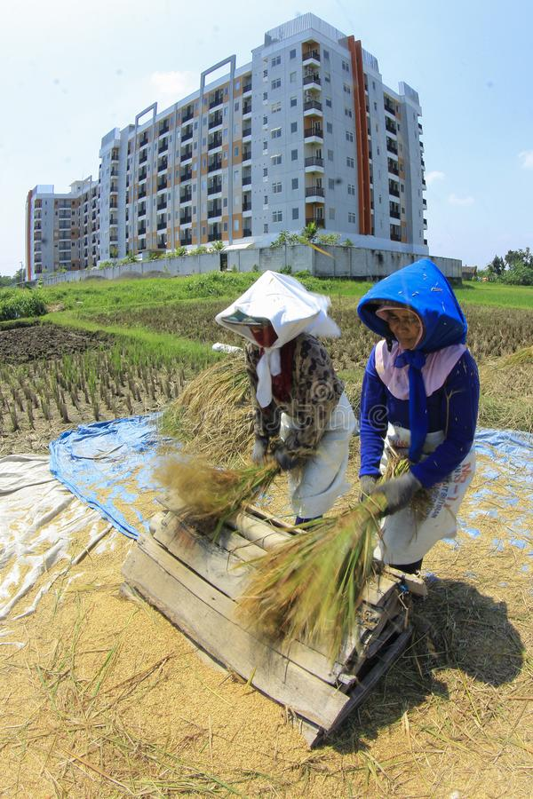 Farmers Harvest Rice in Remaining Land stock images