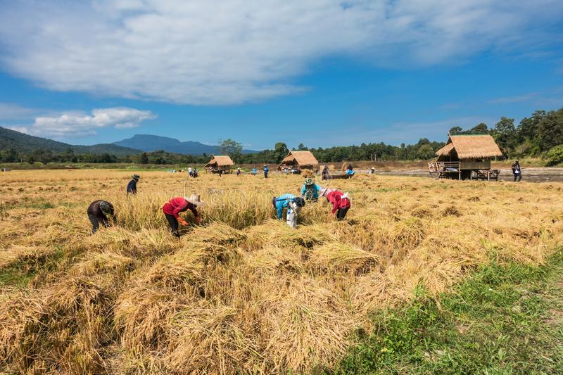 Farmers harvest rice. Farmers harvest rice by the traditional approach, reaping the rice together by a sickle on organic agriculture rice field farm in Chiang stock photo