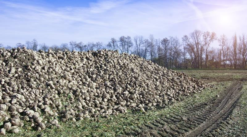 Farmers harvest sugar beet. In a country field stock images