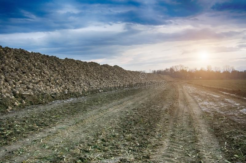 Farmers harvest sugar beet stock images