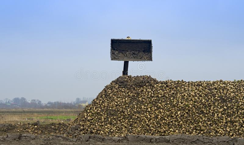 Farmers harvest sugar beet. In a country field stock photo