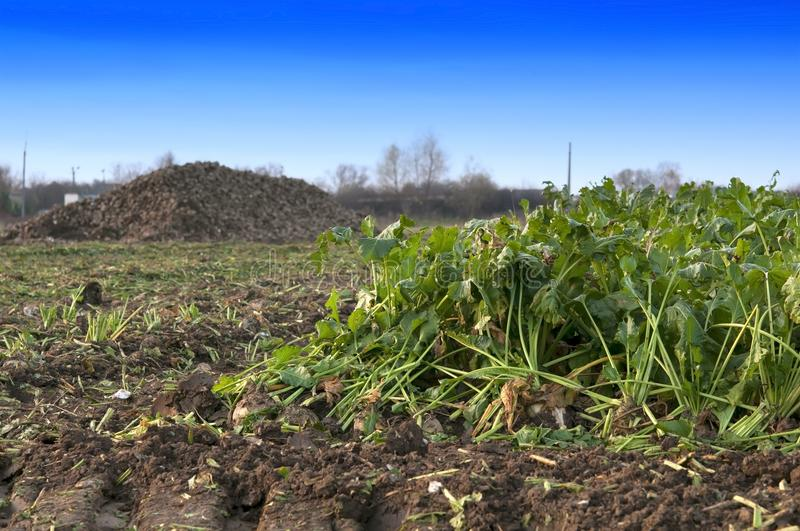Farmers harvest sugar beet. In a country field royalty free stock photos