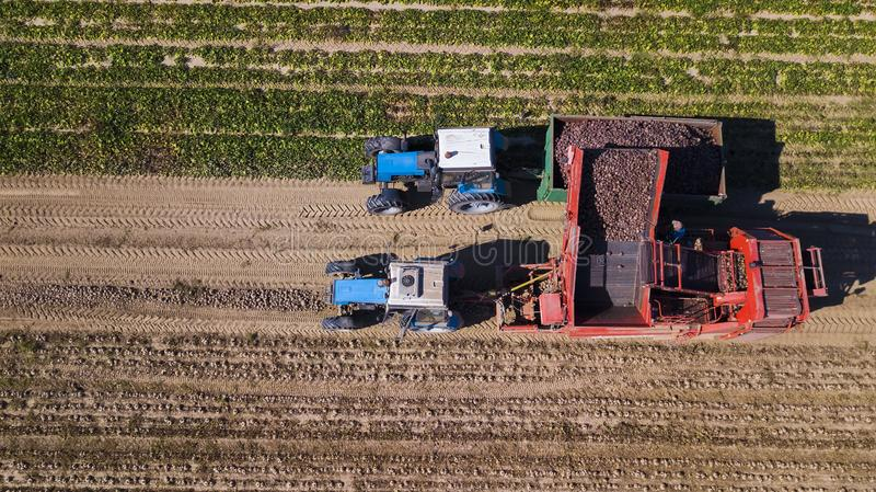 Farmers harvesting red  beets  aerial view royalty free stock photography
