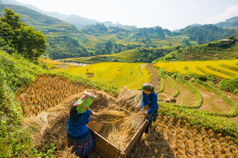 Farmers harvesting rice at Famous terrace in vietnam. Mu cang chai, VIETNAM, September 25: Unidentified farmers harvesting rice from terraced rice field to home stock photography