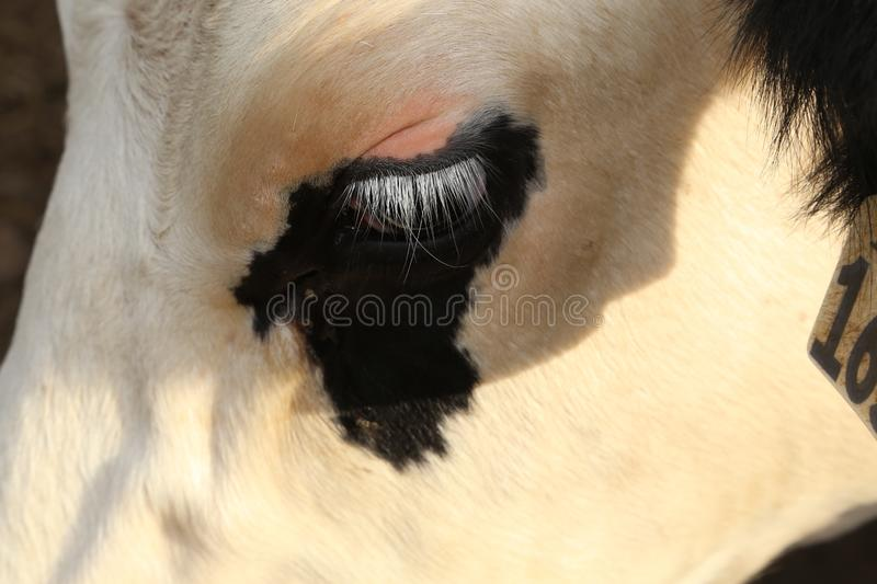 Farmers life- Eyelashes are very long on dairy cows and cows show emotions with eyelashes. Cows long white eyelashes are shown here against a black designer royalty free stock photos