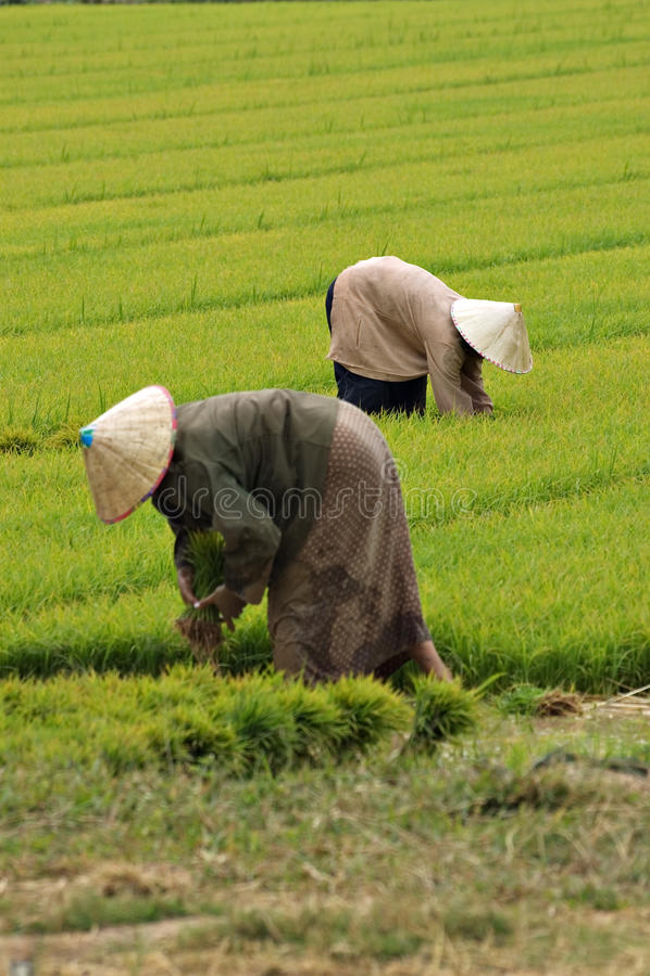 Farmers near Vientiane, Laos. Farmers harvesting rice near Vientiane, Laos royalty free stock image