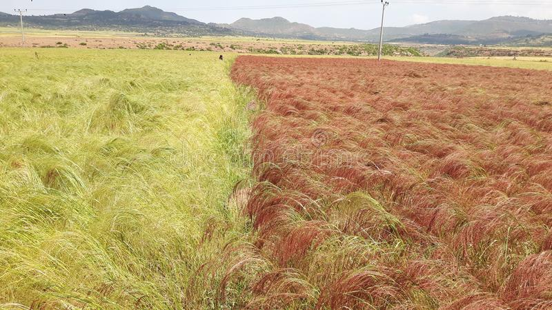 Teff crops planted in rows royalty free stock photos