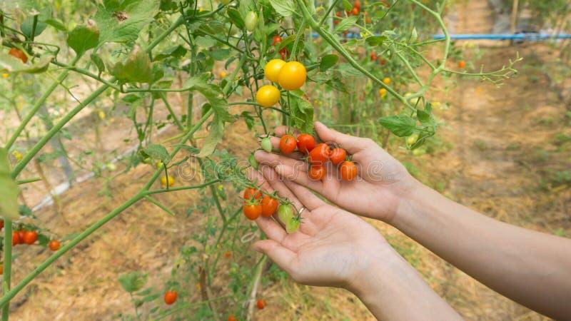 Hand of farmers picking fresh organic tomatoes. stock photo