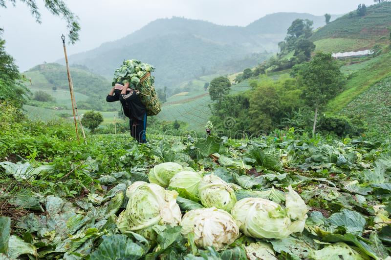 Farmers planted cabbage on the mountain and transported on foot steep. stock photography