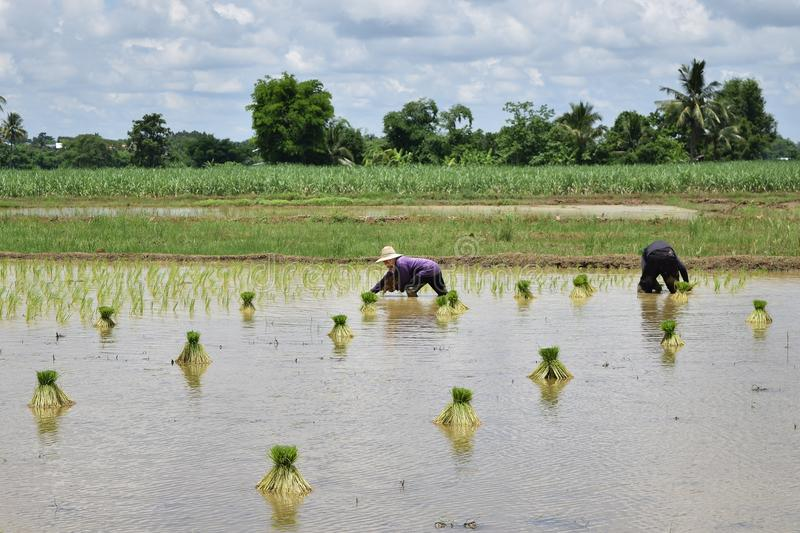 Farmers are planting rice royalty free stock image
