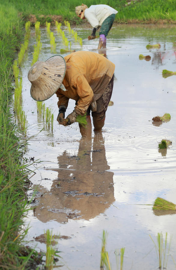 Download Farmers planting rice stock image. Image of plant, farm - 33751713