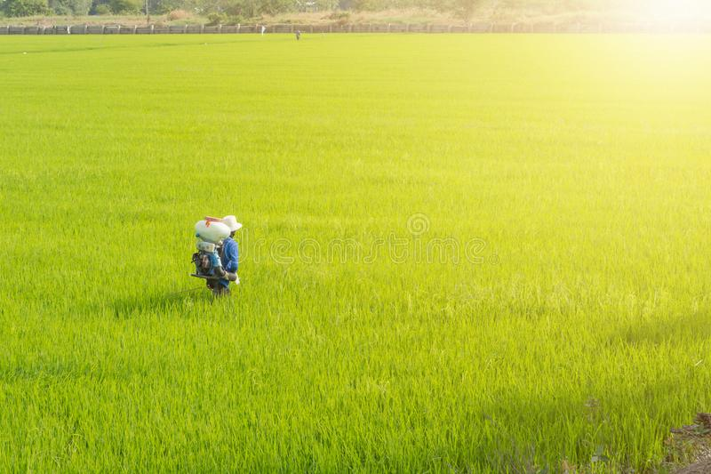 Farmers are sowing fertilizer in rice royalty free stock photo