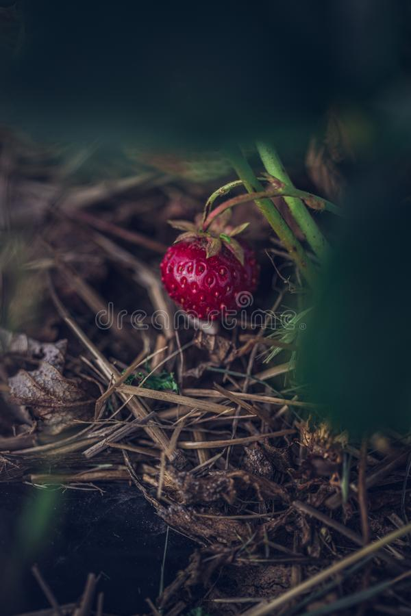 Farmers strawberry harvest. Organic fruit produce, non gmo. Very sweet red strawberry royalty free stock image