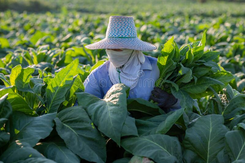 [Farmers in tobacco] Farmers were growing tobacco in a converted tobacco growing in the country, thailand royalty free stock photography