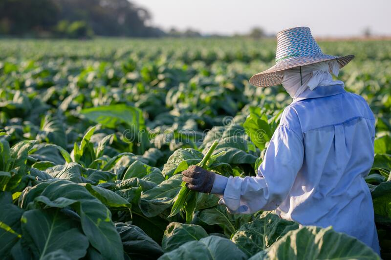 [Farmers in tobacco] Farmers were growing tobacco in a converted tobacco growing in the country, thailand royalty free stock photo