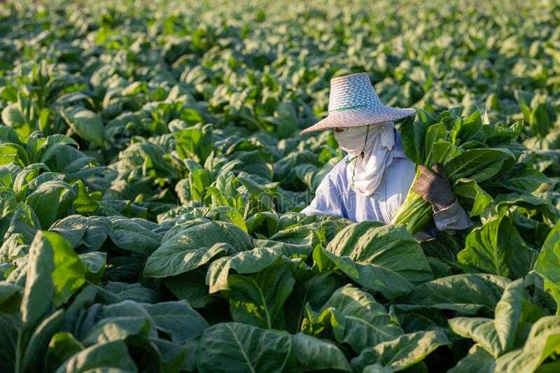 [Farmers in tobacco] Farmers were growing tobacco in a converted tobacco growing in the country, thailand stock photo