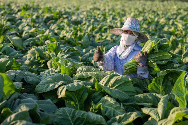 [Farmers in tobacco] Farmers were growing tobacco in a converted tobacco growing in the country, thailand royalty free stock image
