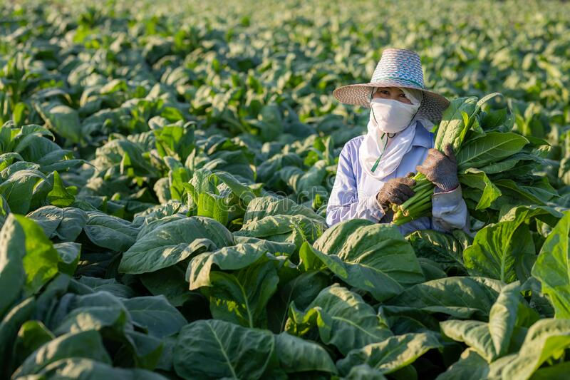 [Farmers in tobacco] Farmers were growing tobacco in a converted tobacco growing in the country, thailand stock images