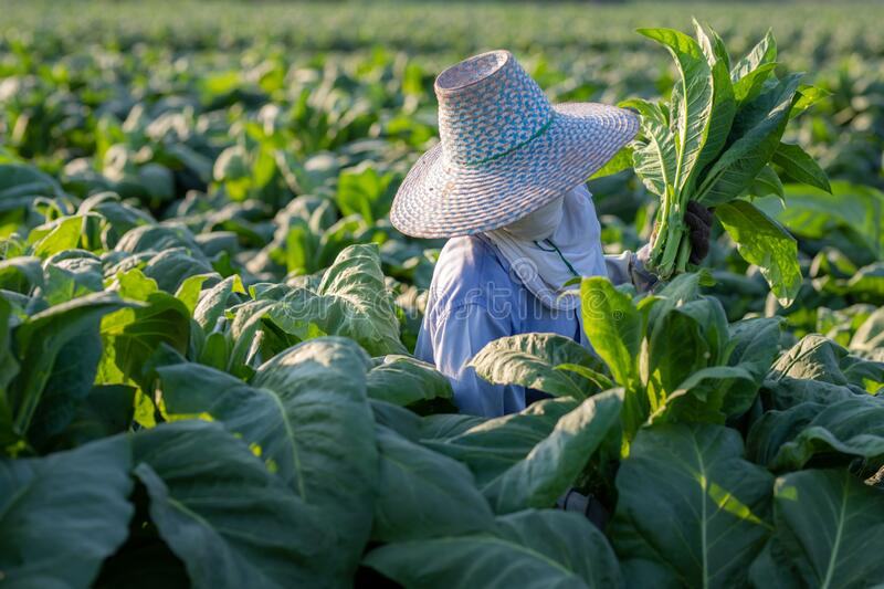 [Farmers in tobacco] Farmers were growing tobacco in a converted tobacco growing in the country, thailand stock photos