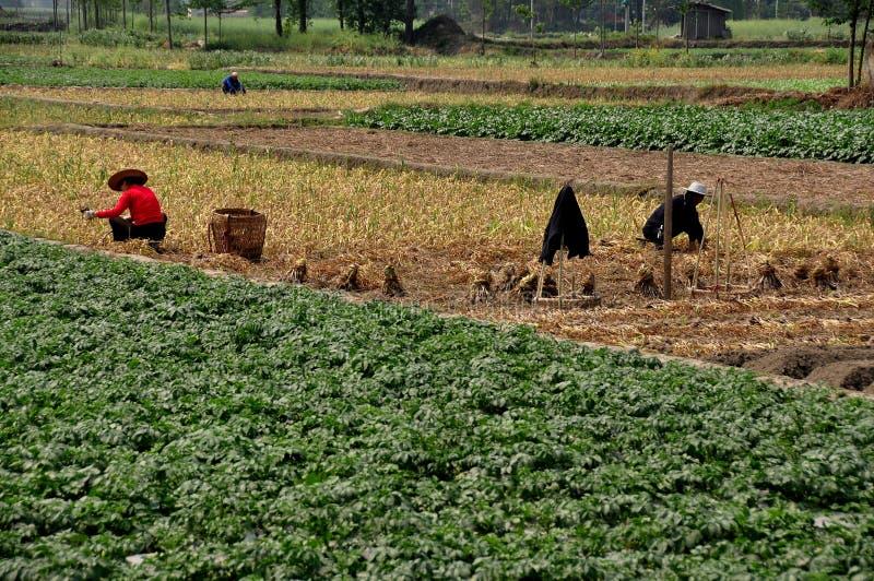 Pengzhou, China: Farmers Working in Field stock photo