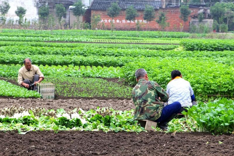 Farmers at work in the agricultural industries, Daxu, China. Male Chinese farmers are at work in the fields with vegetables and lettuce in the ancient village stock photos