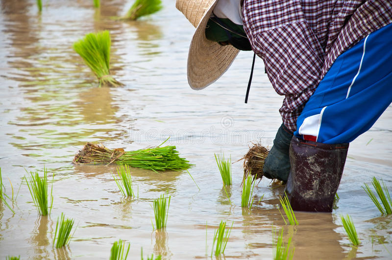 Download Farmers Working Planting Rice Stock Photo - Image: 25775016