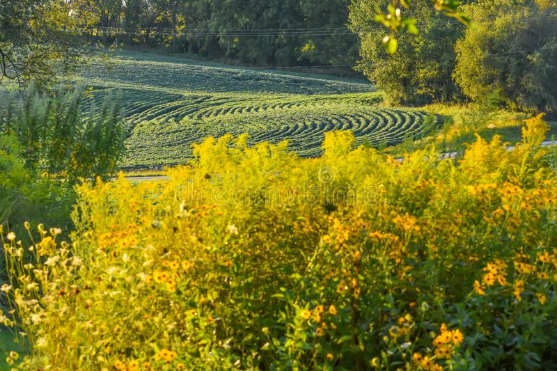 Farmfield Rows of Soybeans with Goldenrod stock photo