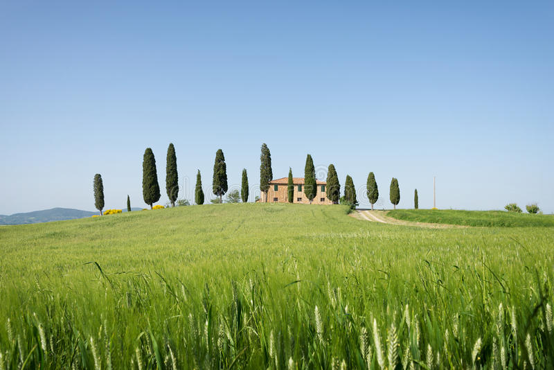 Farmhouse with cypress trees and wheat in Tuscany royalty free stock images