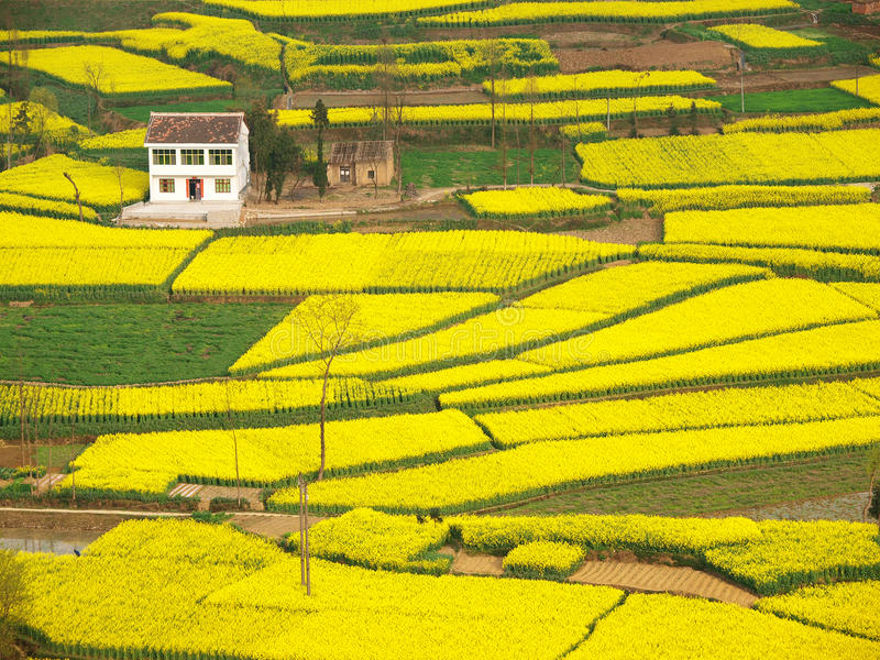 Download Farmhouse Rapeseed Field Around Stock Photo - Image: 24225556