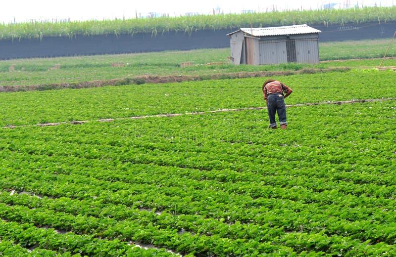 Farming. Man farming at strawberry field,guangzhou city,china pic on nov 16,2011 royalty free stock photo