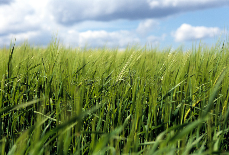 Download Farming. stock image. Image of wheat, bright, cycle, outdoor - 991617