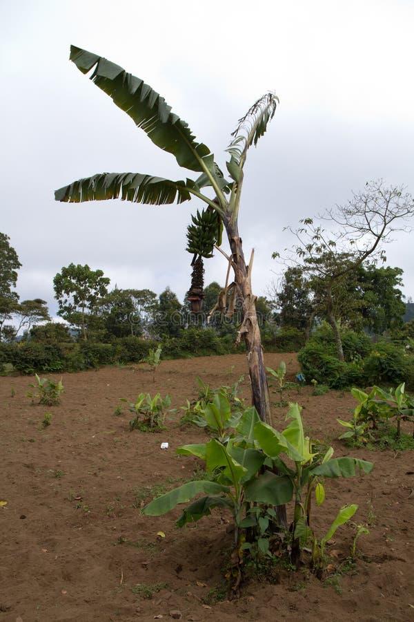 Green field near mount meru. Farming fields near arusha in tanzania on the slopes of mount meru stock photos