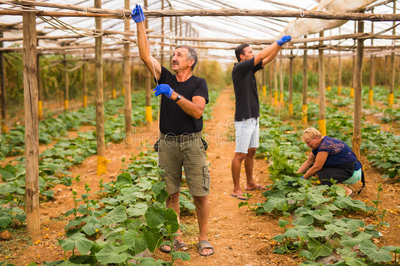 Farming, gardening, agriculture and people concept - happy family working on plants or cucumber seedlings at farm greenhouse. Fami stock photography