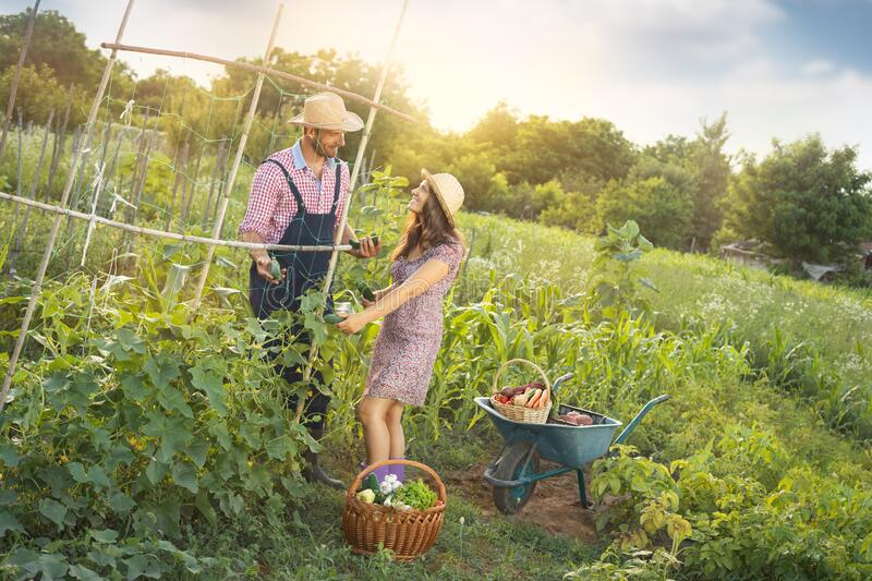 Young couple planting cucumber at garden. Farming, gardening, agriculture and people concept - young couple planting cucumber at garden or farm stock photography