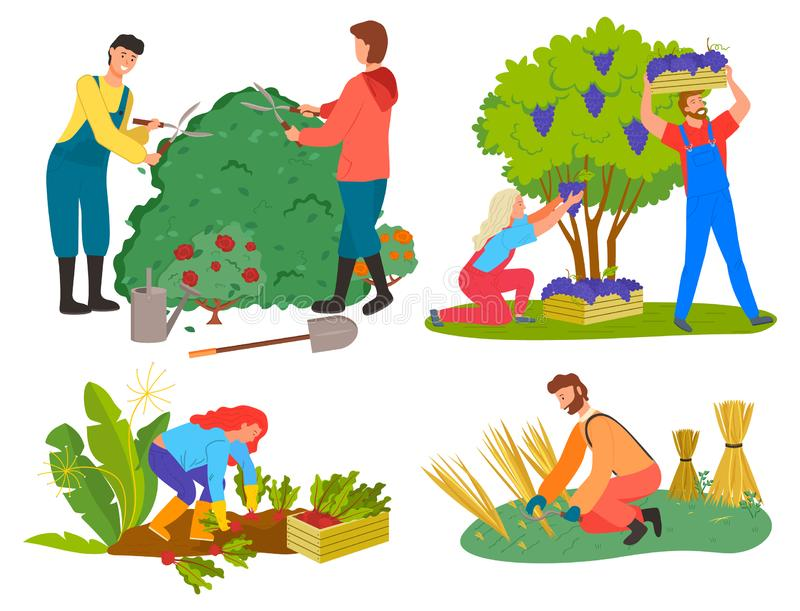 People Picking Grapes, Wheat and Beetroots Set. Farming and gardening people vector, isolated set of character on farm. Harvesting grapes and beetroots, wheat vector illustration