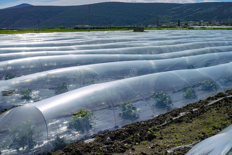 Farming in Greece, rows of small greenhouses covered with plastic film with growing melon plants in spring season stock photo