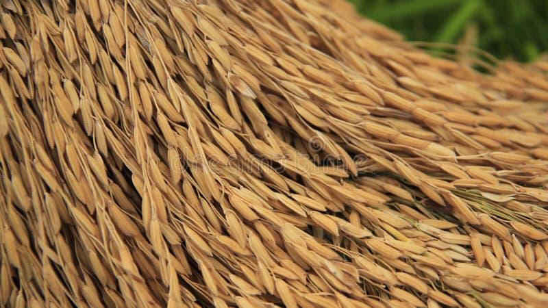 farming Het zaad van de rijst royalty-vrije stock afbeeldingen
