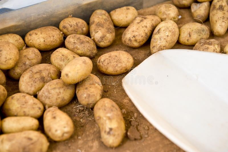 Farming Potatoes Stock Photo