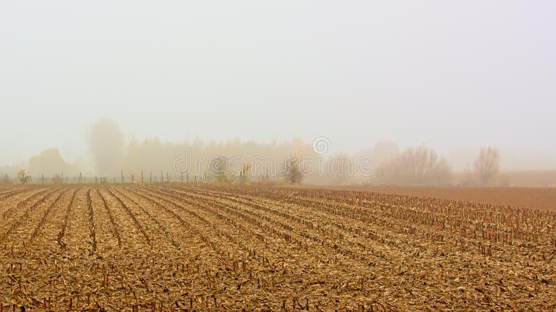 Farmlad mit Stoppeln im Nebel in der flämischen Landschaft stockfoto