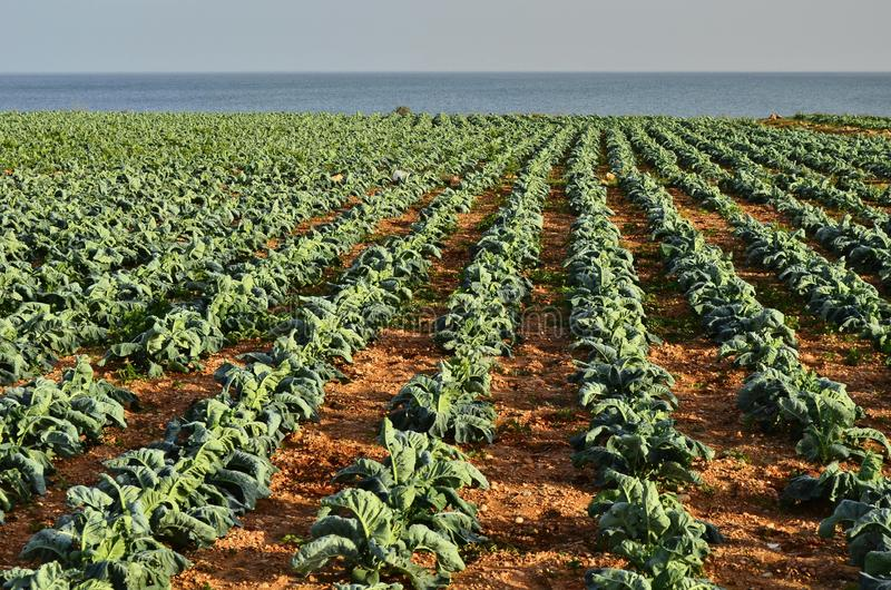 Farmland with cabbage plants Spain royalty free stock images