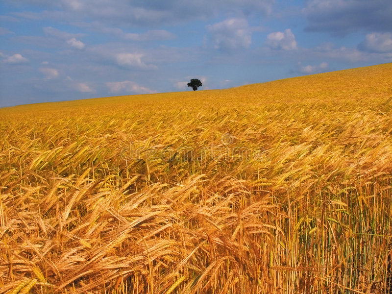 Farmland with cereal crops. Harvest harvesting food grow growth growing stock images