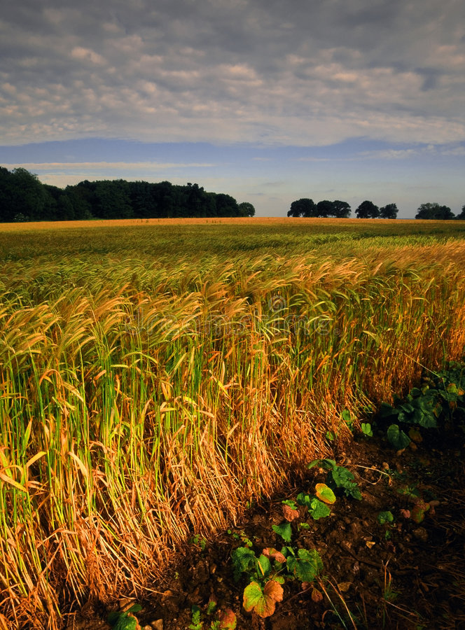 Download Farmland with cereal crops stock photo. Image of cornfield - 1430968