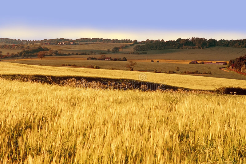Farmland with cereal crops. Harvest harvesting food grow growth growing royalty free stock photo