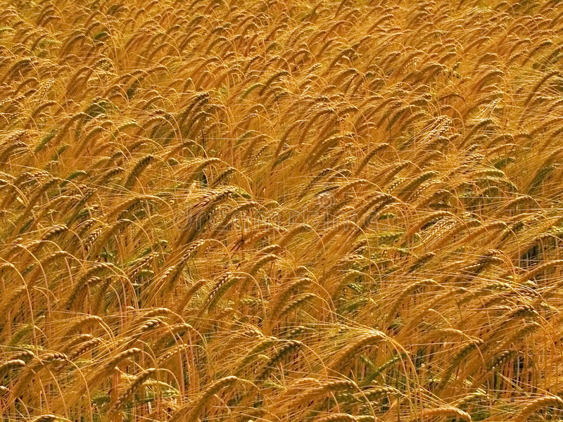 Farmland with cereal crops. Harvest harvesting food grow growth growing royalty free stock photos