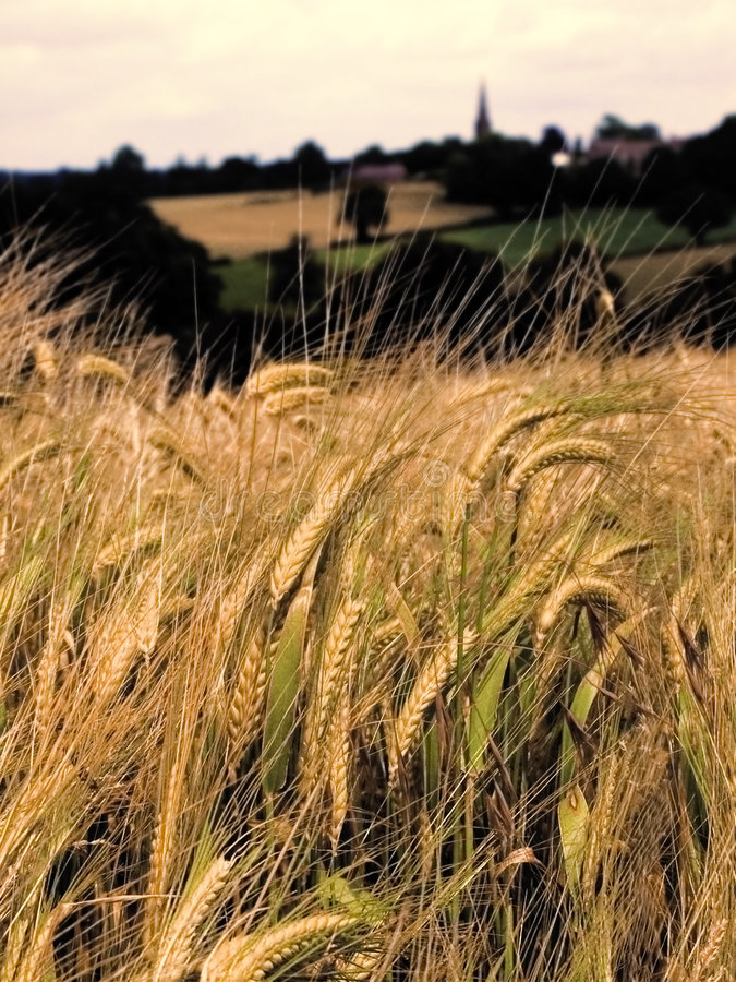 Farmland with cereal crops. Harvest harvesting food grow growth growing stock image
