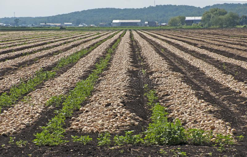 Field of growing onions royalty free stock photos