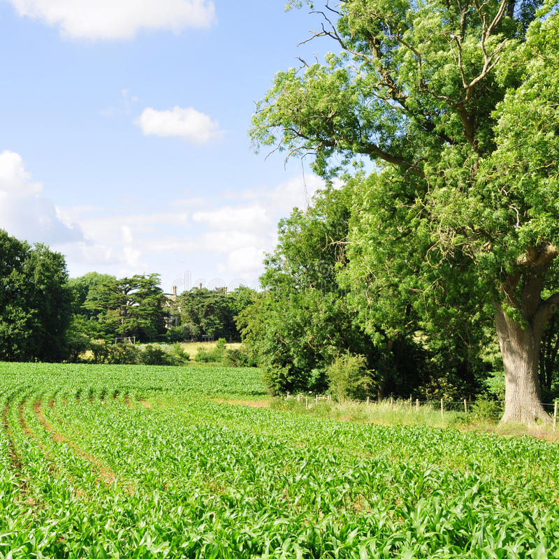 Farmland Crops. Green Farmland Crops in Summer royalty free stock images