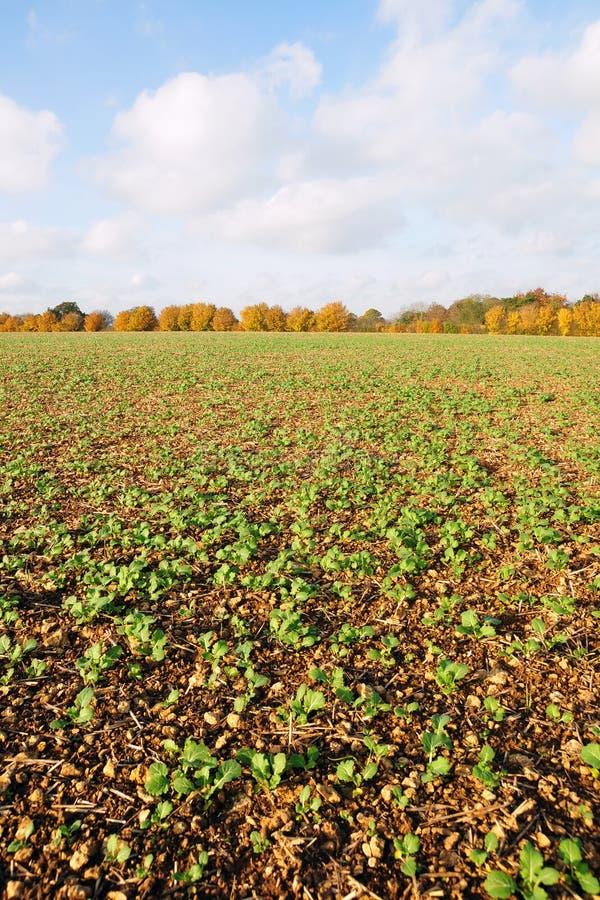 Farmland Crops. Crops Growing on Farmland in Rural England stock photos